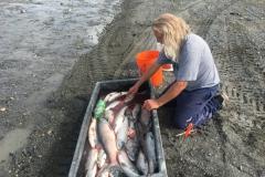 Red Salmon mit Keschern gefangen....