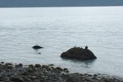 Weißkopfseeadler in Seward